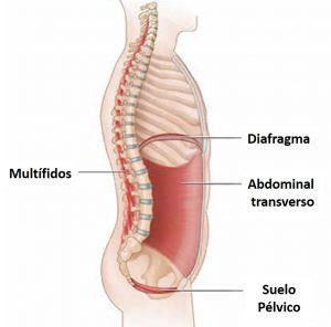 El-core-transverso-multífidos-diafragma-y-suelo-pélvico